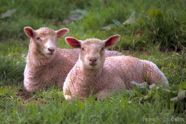 01_16_5---Sheep_web.jpg